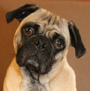 Manny - Adoptable through Pug Partners of Nebraska!