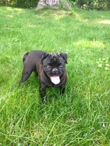 Katherine Hepburn - Adoptable through Pug Partners of Nebraska!