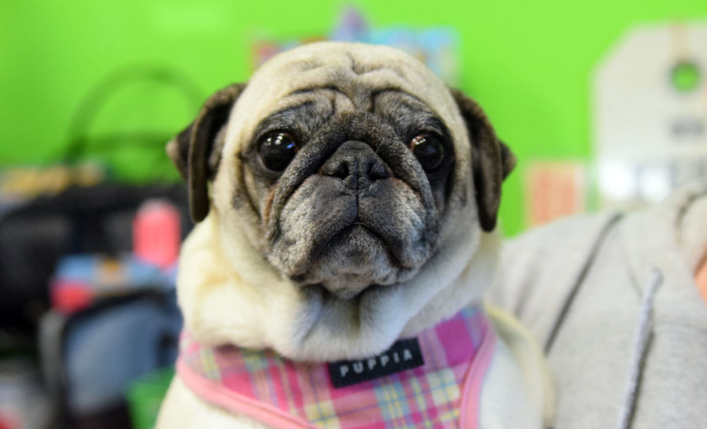 Paisley – Adopted | Pug Partners of Nebraska