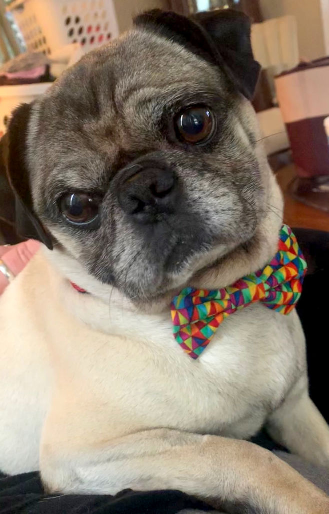 Pugs Available for Adoption | Pug Partners of Nebraska